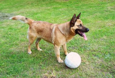 Schäferhund spielt mit einem Ball