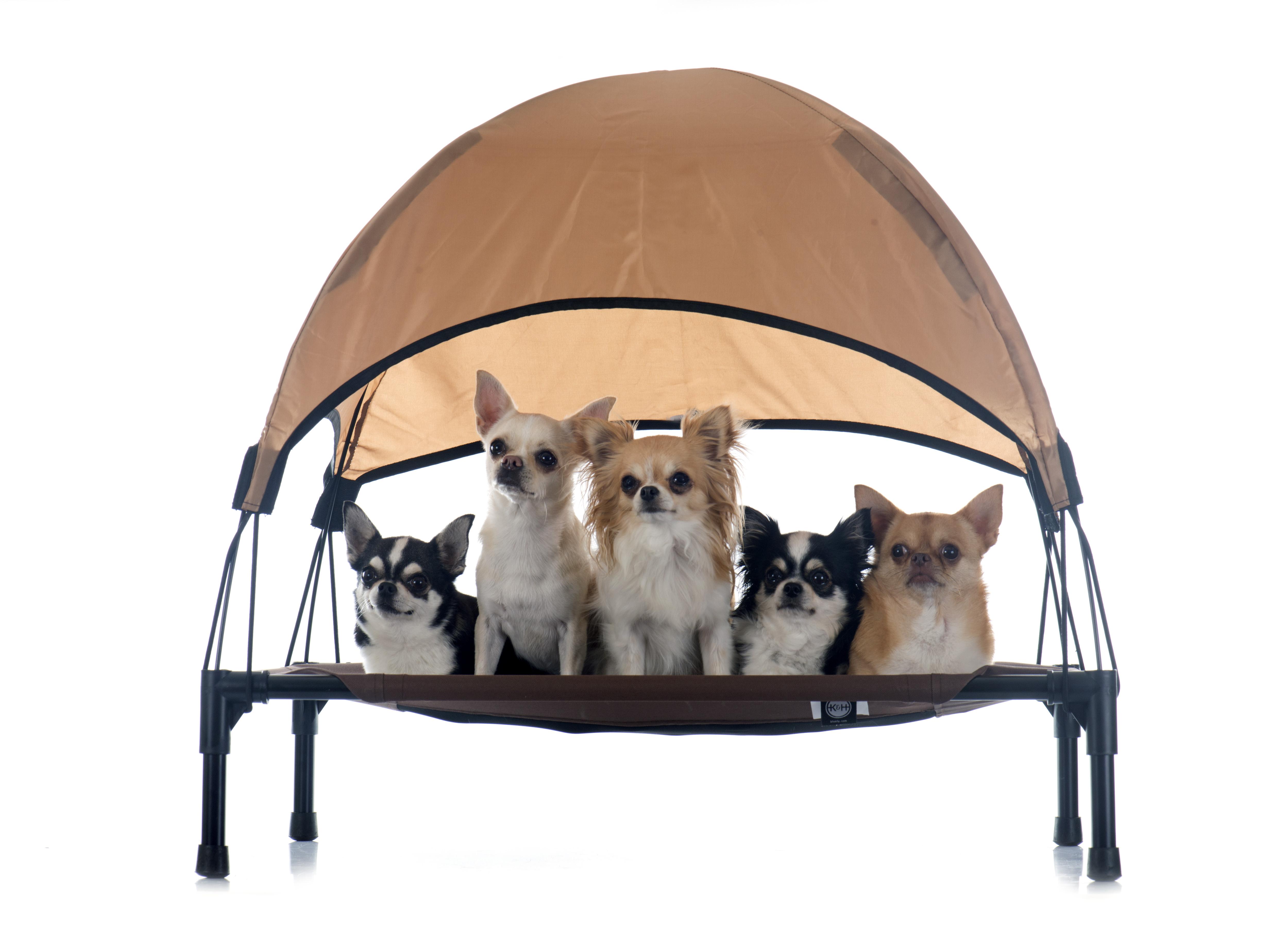Chihuahuas auf einer Hundeliege mit Überdachung