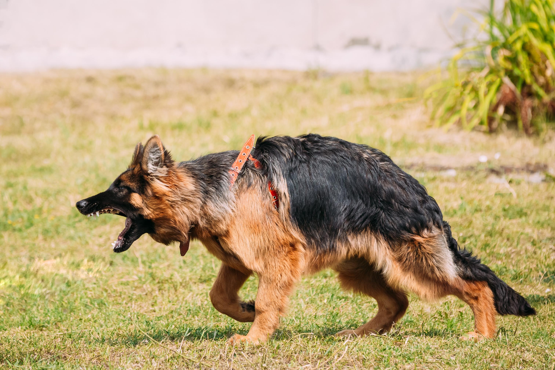 Ein scheinbar aggresiver Schäferhund