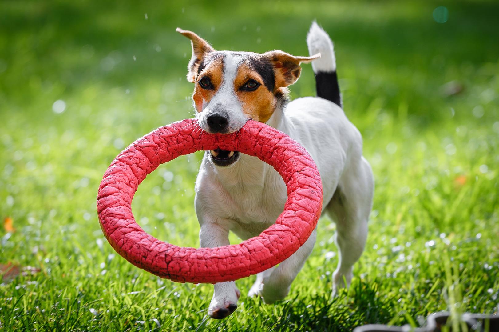 Jack Russell Terrier rennt mit Hundespielzeug auf der Wiese rum